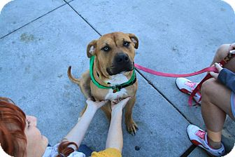 American Bulldog/Labrador Retriever Mix Dog for adoption in Chicago, Illinois - Mojo