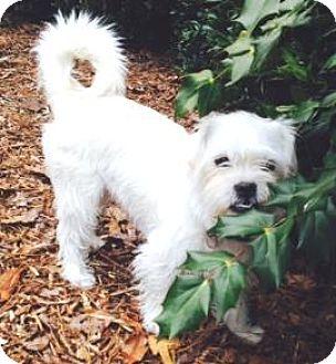 Lhasa Apso/Westie, West Highland White Terrier Mix Dog for adoption in Atlanta, Georgia - Leo