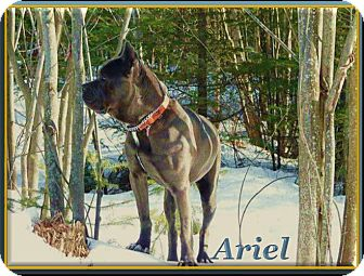 Cane Corso Dog for adoption in Berthierville / Sorel, Quebec - Ariel