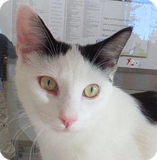 Domestic Shorthair Cat for adoption in Truckee, California - Jonah