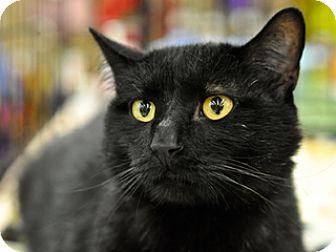 Domestic Shorthair Cat for adoption in Great Falls, Montana - Deckard