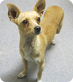 Chihuahua Mix Dog for adoption in Manteca, California - Chloe