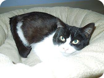 Domestic Mediumhair Cat for adoption in Medina, Ohio - Blitzen