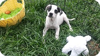 Dalmatian/Labrador Retriever Mix Puppy for adoption in East Hartford, Connecticut - Oreo