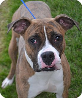 Boxer/Pit Bull Terrier Mix Dog for adoption in Fruit Heights, Utah - Daisy