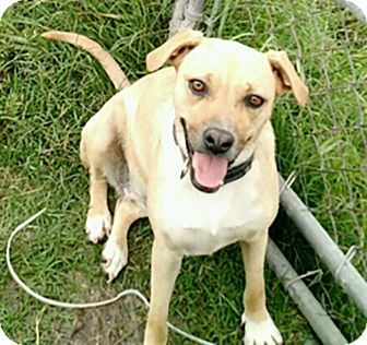 Labrador Retriever Mix Dog for adoption in West Hartford, Connecticut - Chule