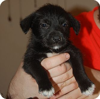 Terrier (Unknown Type, Small) Mix Puppy for adoption in Fordyce, Arkansas - Malachite