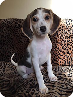 Beagle/Hound (Unknown Type) Mix Puppy for adoption in Maryville, Missouri - Kaili