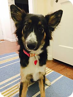 Border Collie/German Shepherd Dog Mix Dog for adoption in Los Angeles, California - Farrah