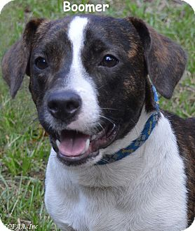 Basset Hound/Parson Russell Terrier Mix Dog for adoption in Lake Pansoffkee, Florida - Boomer