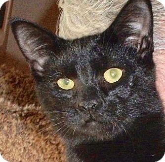 Domestic Shorthair Kitten for adoption in Colmar, Pennsylvania - Eli
