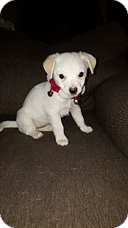 Terrier (Unknown Type, Small) Mix Puppy for adoption in Rancho Cucamonga, California - Penny