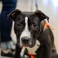 Adopt A Pet :: Stoli - Tempe, AZ