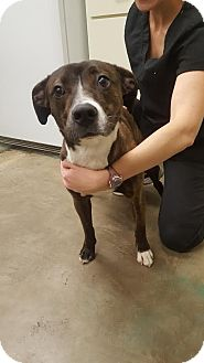 Catahoula Leopard Dog Mix Dog for adoption in East Hartford, Connecticut - Lucy 1 meet me 2/17