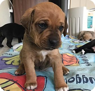 Boxer Mix Puppy for adoption in Denver, Colorado - Cinnamon