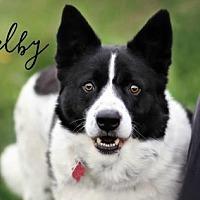 Adopt A Pet :: Shelby - Joliet, IL
