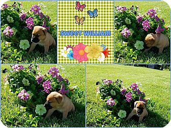 Labrador Retriever Mix Puppy for adoption in Hopkinsville, Kentucky - Sweet William