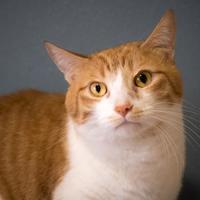 Adopt A Pet :: Gingee - Santa Paula, CA