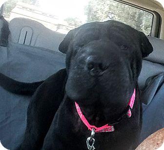 Shar Pei Dog for adoption in Apple Valley, California - Angel
