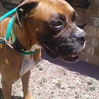 Adopt A Pet :: Shotgun - Austin, TX