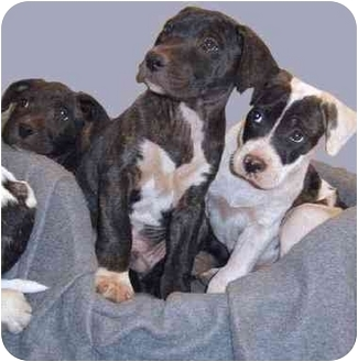 American Pit Bull Terrier Mix Puppy for adoption in Grass Valley, California - Bullie girls