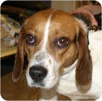 Beagle Dog for adoption in Kokomo, Indiana - Shylo
