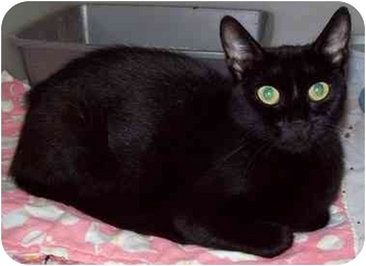 Domestic Shorthair Cat for adoption in Howes Cave, New York - Victoria - On Hold