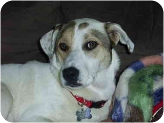 Jack Russell Terrier Mix Dog for adoption in Portland, Maine - Honey-URGENT!