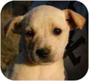 Labrador Retriever/Shepherd (Unknown Type) Mix Puppy for adoption in Foster, Rhode Island - Alaska