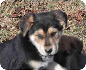 German Shepherd Dog Mix Puppy for adoption in Salem, New Hampshire - Blitzen