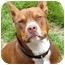 Photo 1 - American Pit Bull Terrier/Basenji Mix Dog for adoption in El Segundo, California - Gracie