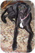 Great Dane Dog for adoption in Poway, California - Dixie