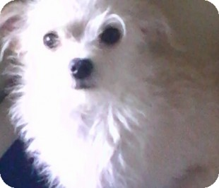 Maltese Mix Dog for adoption in Reno, Nevada - Ludwig