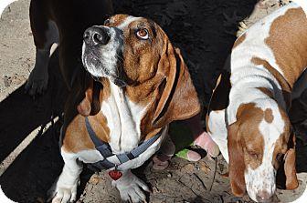 Basset Hound Dog for adoption in Baton Rouge, Louisiana - Elvis