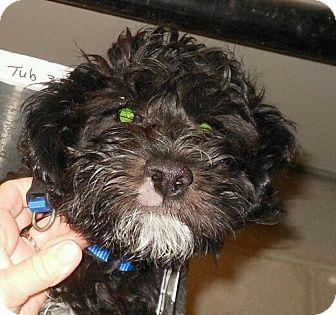 Cockapoo Mix Puppy for adoption in Phoenix, Arizona - Fondue - non shed cockapoo!