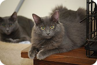 Russian Blue Kitten for adoption in Trevose, Pennsylvania - Fluffernutter