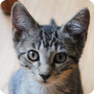 Domestic Shorthair Kitten for adoption in Weatherford, Texas - Finn
