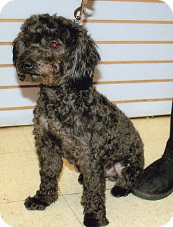 Schnauzer (Miniature)/Poodle (Miniature) Mix Dog for adoption in Sharonville, Ohio - Mason-Adopt Pend