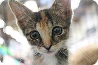 Domestic Shorthair Kitten for adoption in Santa Monica, California - aliana