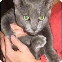 Adopt A Pet :: Teddy Bear - Jenkintown, PA