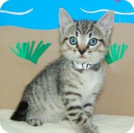 Domestic Shorthair Kitten for adoption in Bradenton, Florida - Lewis