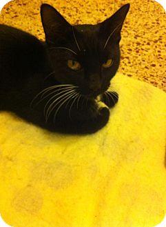 Domestic Shorthair Kitten for adoption in Chisholm, Minnesota - Mela