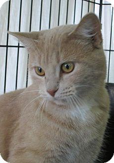 Domestic Shorthair Cat for adoption in Pueblo West, Colorado - Arron
