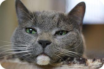 Domestic Shorthair Cat for adoption in Reading, Pennsylvania - Precious