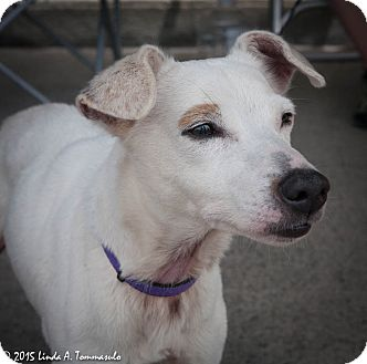 Smooth Fox Terrier Dog for adoption in Loudonville, New York - Alexa