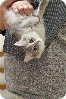 Domestic Mediumhair Cat for adoption in Nashville, Tennessee - Dash