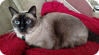 Siamese Cat for adoption in Laguna Woods, California - Roxie