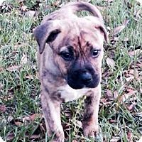 Adopt A Pet :: Goldie - Gainesville, FL