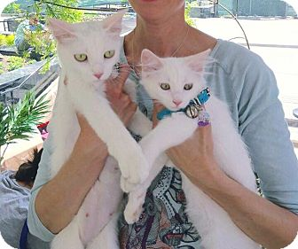 Domestic Shorthair Cat for adoption in Chicago, Illinois - Popcorn