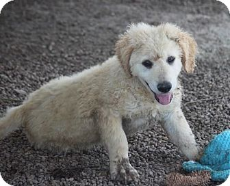 Great Pyrenees/Labrador Retriever Mix Puppy for adoption in Hooksett, New Hampshire - Kaa